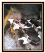 VORTEXZIEZ (Bull Terrier)
