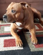 MRS.L.SNYDERS (Staffordshire Bull Terrier)