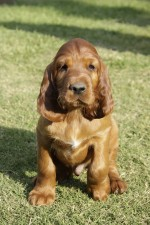 IRISH SETTER (Mrs Laubscher)