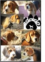 KAMPAROO (Beagle)