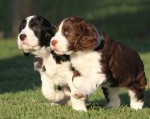 TANJO (English Springer Spaniel)