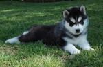 TOLCKETNA (Siberian Husky)