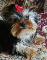 LILLEHEI (Yorkshire Terrier)